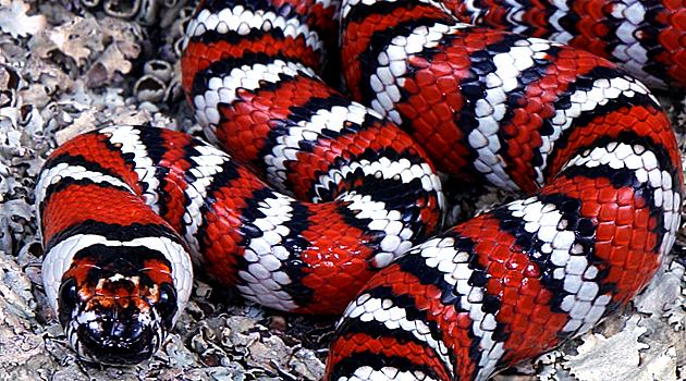 red king snake
